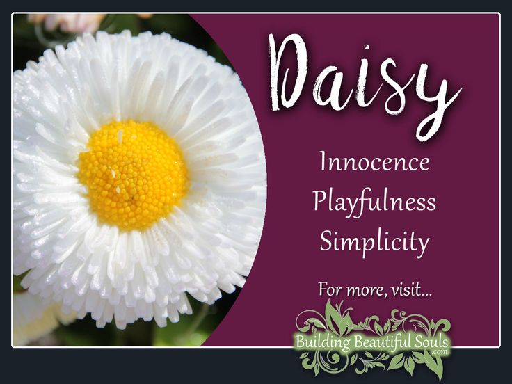 Daisy is a powerful flower! Delve deeply into Daisy Meaning & Symbolism! Learn Daisy Color Meanings, Spiritual Meanings & History! Get all Flower Meanings! #daisy #flowers #floriography #floweressence #nature #garden