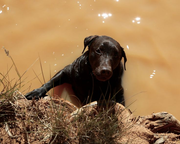 Labradors and water.  Jess on the bank of Eringa Waterhole. Heaven even near the desert.