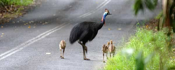 Cassowary family - I'd love to have seen one in Australia, but since they are not just cool but potentially deadly, it's probably just as well I didn't...