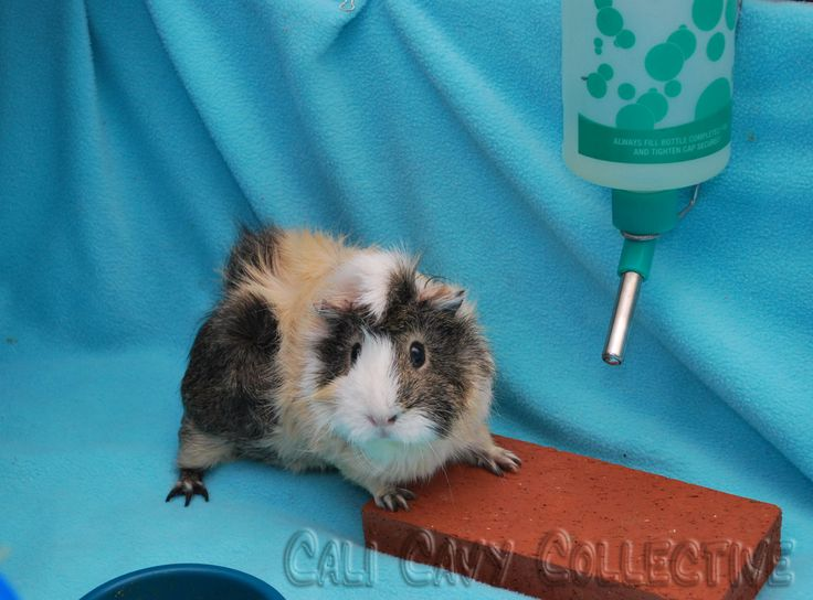 Cali Cavy Collective: a blog about all things guinea pig: Water Bottle and Brick
