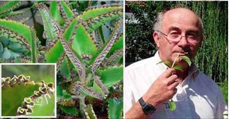Esta planta é mais uma maravilha da natureza.Ela é nativa da ilha de Madagascar, África, e foi introduzida na América pelos negros escravizados, que já conheciam o seu valor terapêutico.Hoje se encontra por toda a América do Sul, especialmente na Amazônia.
