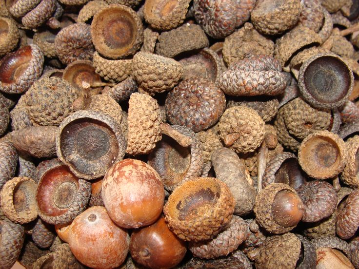 Find This Pin And More On Dried Acorn Decorations By Curiouscountry.