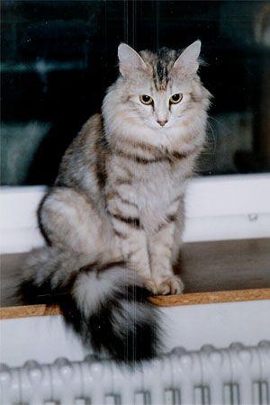 Türkisch Angora
