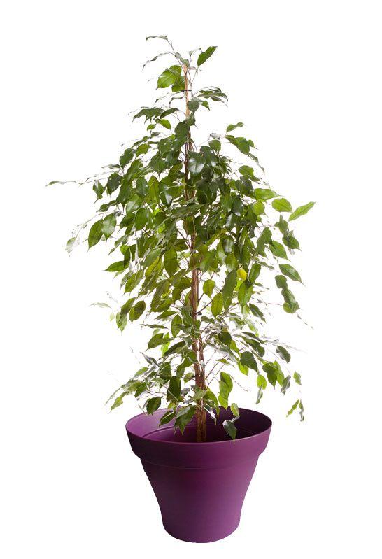grand ficus benjamina avec cache pot violet plantes d. Black Bedroom Furniture Sets. Home Design Ideas
