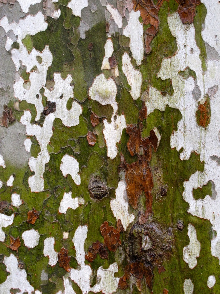An American sycamore tree can often be easily distinguished from other trees by its mottled exfoliating bark, which flakes off in great irregular masses, leaving the surface mottled, and greenish-white, gray and brown. The bark of all trees has to yield to a growing trunk by stretching, splitting, or infilling; the Sycamore shows the process more openly than many other trees.