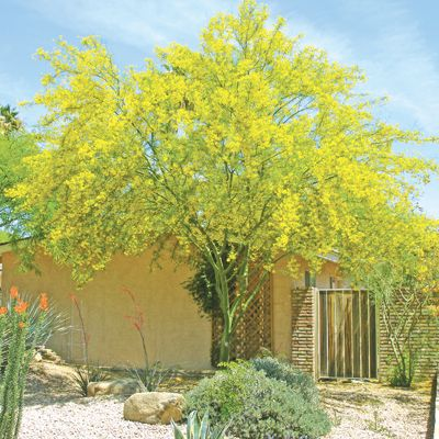 Desert Museum Palo Verde tree (3-way hybrid with: Parkinsonia aculeata, P. microphylla, and P. florida)