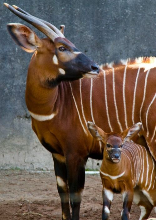 Bongo female & calf (Tragelaphus eurycerus)