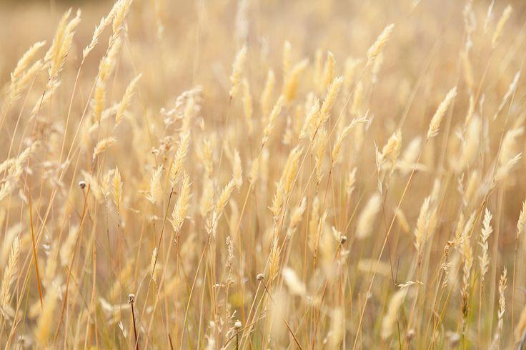 Golden Autumnal grasses Otago