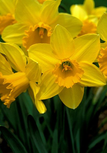 Carlton daffodil, 1927 oldhousegardens.com