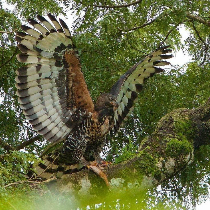 Photo by @TimLaman. On my recent Tanzania trip, one of the highlights was seeing this massive African Crowned Eagle fly in to deliver what appears to be a leg of a duiker to its young. The Crowned Eagle is considered to be Africa's most powerful eagle and has exceptionally strong legs and talons. In this shot the adult just landed on a branch with the food in its talons. An Eagle that can take down a small deer – now that's impressive. Shot in Arusha National Park, #Tanzania, #Africa…