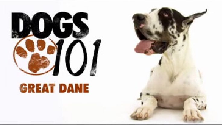 It's easy to fall in love with the Great Dane breed. They're affectionate, beautiful, silly, and generally laid back. But too often, new owners get one without knowing about the demands of caring for a Dane. This video is a must-see for anyone considering getting one. It's also a great episode for those who already…