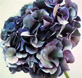 Antique blue - hydrangea Mayesh Wholesale Florists - Search our Flower Library