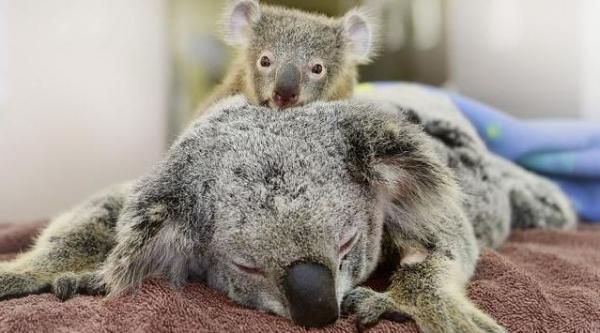 Il cucciolo di koala abbraccia la mamma, operata d'urgenza all'ospedale veterinario - Yahoo Notizie Italia