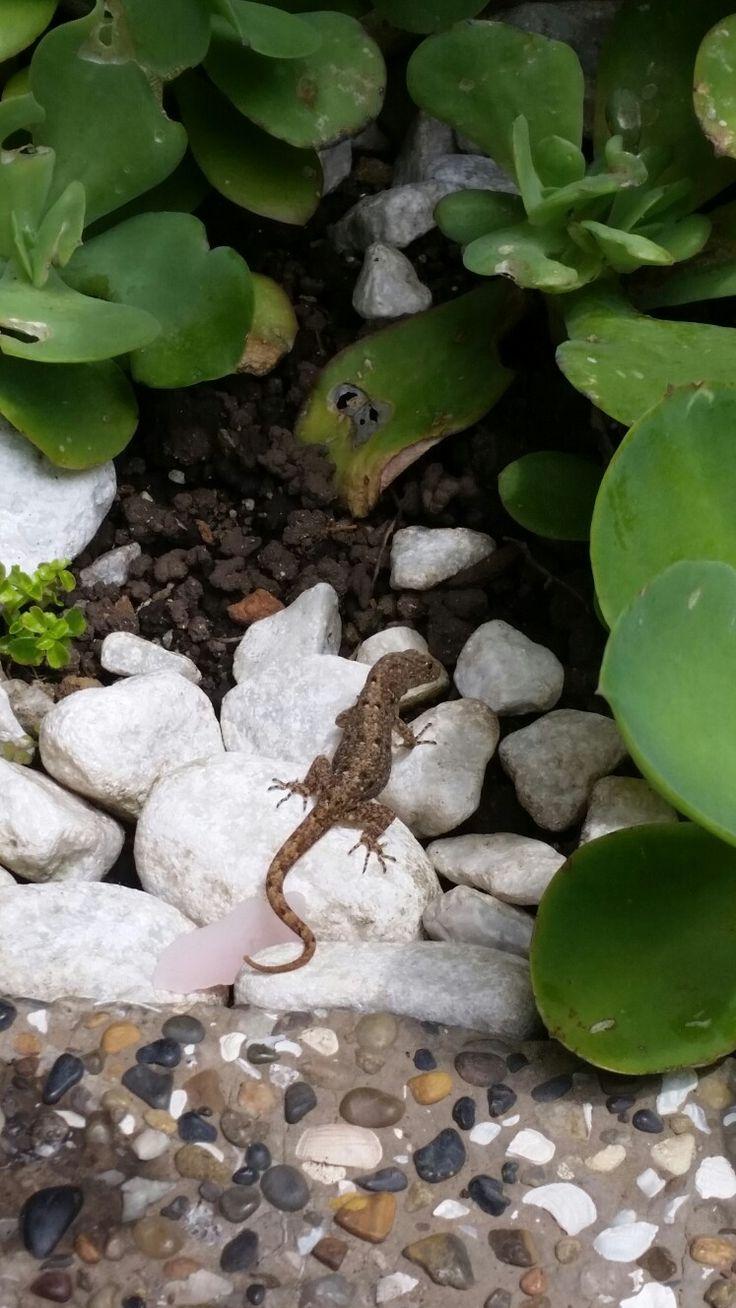 Pequeña lagartija disfrutando en mi jardín.