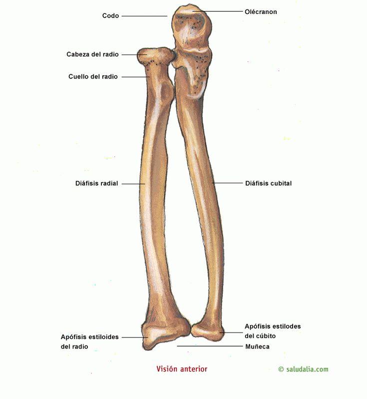 Mejores 11 imágenes de sistema oseo en Pinterest | El esqueleto ...