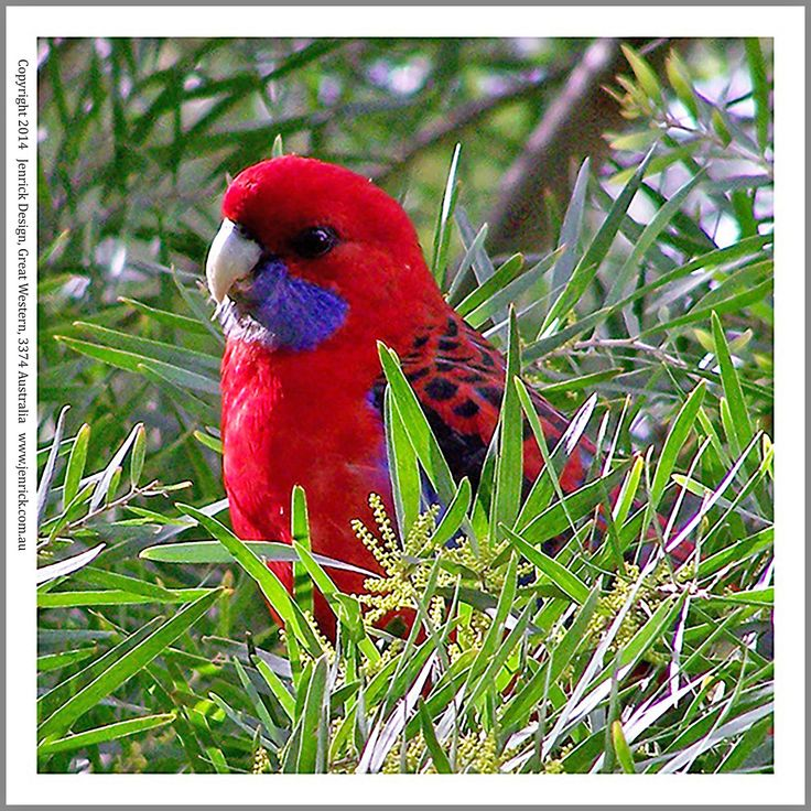 This is a photo of a Crimson Rosella printed on 100% cotton ready to quilt with. Size is 6 inch sq.-12 inches sq.