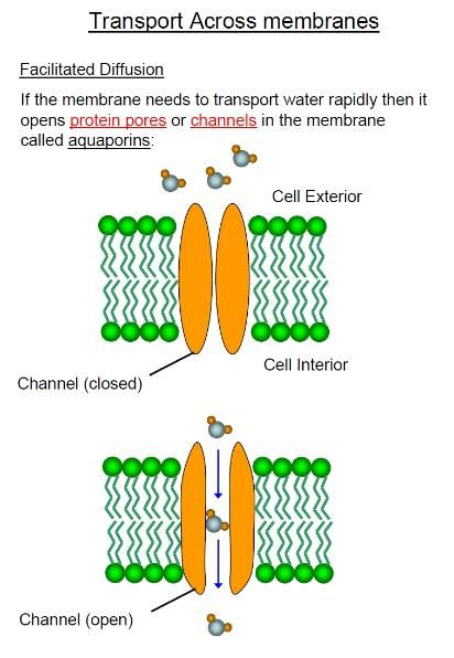 Facilitated diffusion type 1