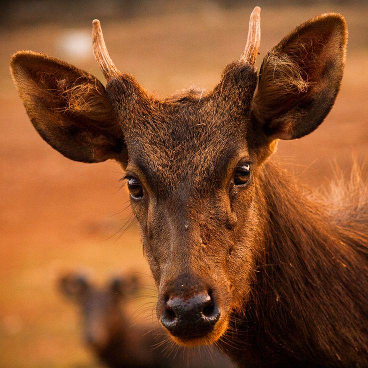 """portrait of a deer"" by Syahrul Ramadan, via 500px."