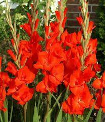 Resultado de imagen para bulbos de tulipanes mercadolibre