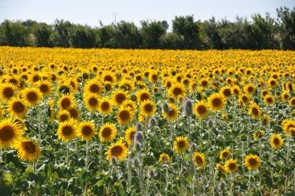 Poitou-Charentes in June: sunflowers, beach, cycling, sailing, enjoying the sun. francetravel