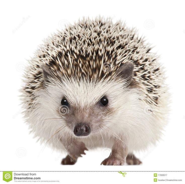17 Best Images About Hedgehogs Amp Moonrats On Pinterest