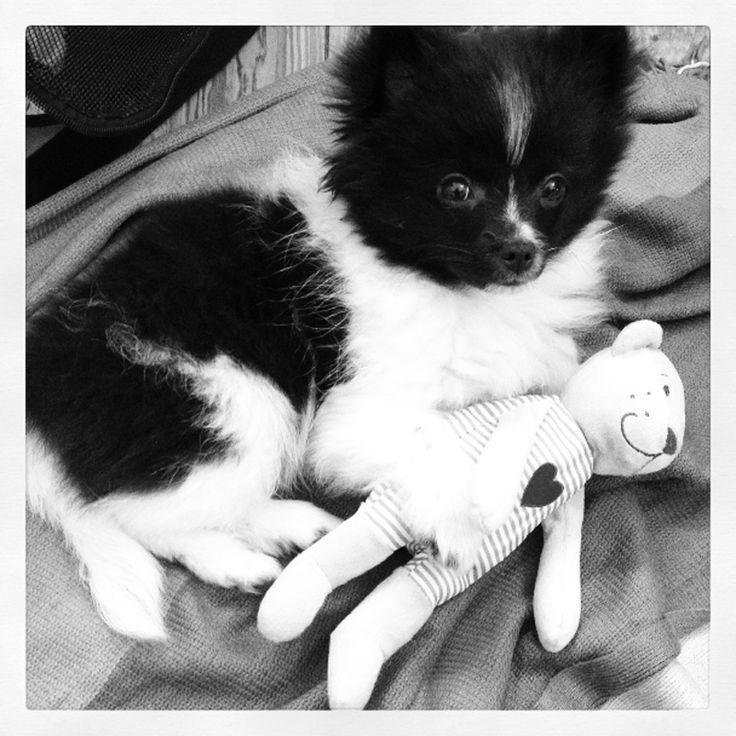 sweet baby #pomeranian #baby #puppy