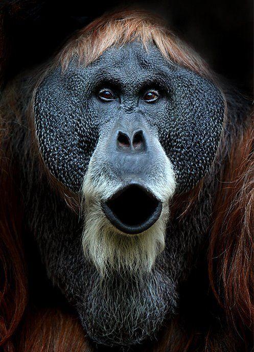 Orangutan. Photo by German photographer Volker.