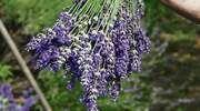 Levanduľové záhony ako z Provensálska môžete mať aj vo vlastnej záhrade - Pluska.sk
