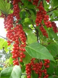 Schizandra: Chinese Medicine, Heart Healing, Get Healthy, Blood Sugar, Health Conditioning, Chine Medicine, Healthy Living, Flavored Berries, Herbs Lists