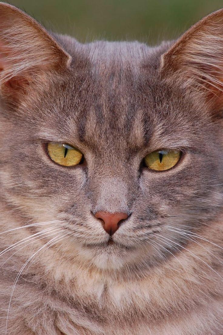Tabby Cat Grooming Basics Grey tabby cats, Cat care