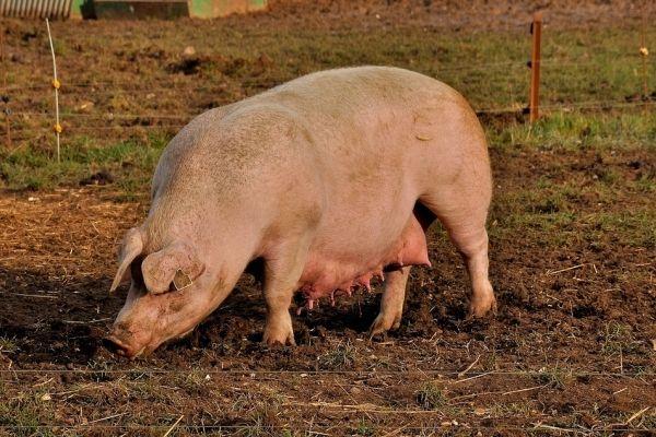 Rasele de porci cu multe coaste sunt mai rentabile pentru ferma de reproducție și de îngrășare