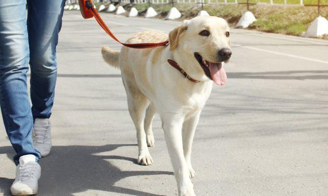 La educación canina es clave para que nuestro perro pueda disfrutar de sus paseos por la ciudad sin darnos problemas. Os damos 3 consejos sobre cómo pasear a tu perro.