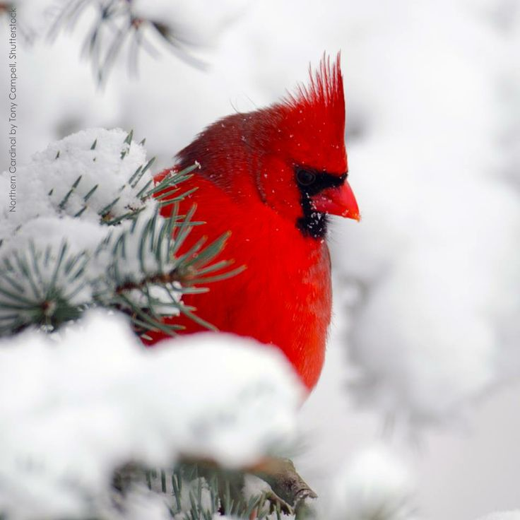 Best 25 cardinals ideas on pinterest northern cardinal - Pictures of cardinals in snow ...