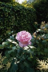 Homemade aphid spray for roses