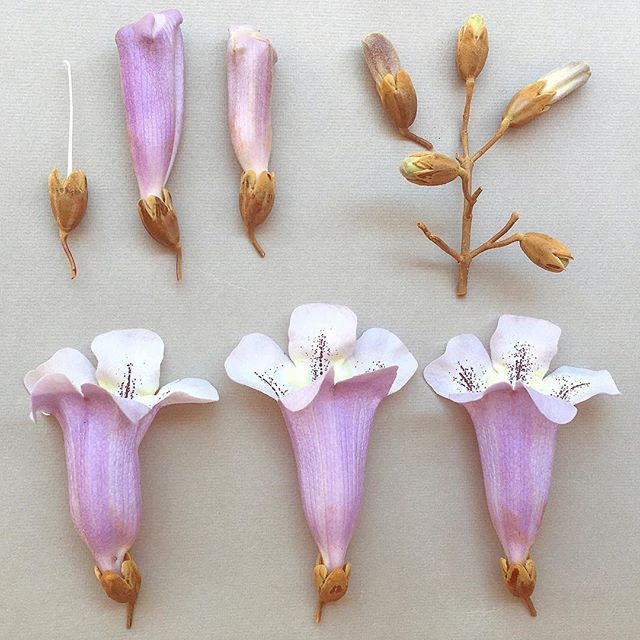 "P A U L O W N I A .  tomentosa, a botanical study. Fellow nostalgic Zimbabwean  @kimbillg and I call this the ""English Jacaranda tree"" it's flowers have a rather medicinal scent not unlike cough syrup #pauwlonia #jacaranda #englishjacaranda #royalempresstree #paulowniatomentosa #perfume #scent #mauve #botanicalstudy #botanicaldeconstruction"