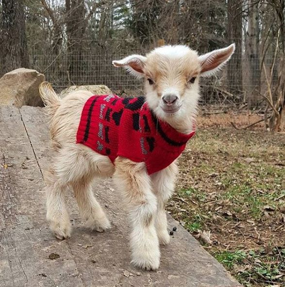 Baby Goat Wearing Jumper Goating