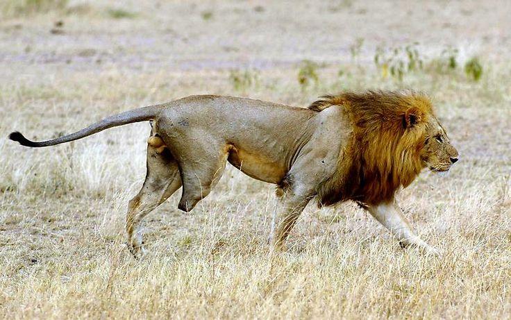 """Die Serengeti ist das """"Kronjuwel"""" der Schutzgebiete Tansanias, die insgesamt etwa 14 Prozent der Oberfläche des Landes ausmachen. (Löwe mit fehlendem Hinterlauf  im Serengeti-Nationalpark)"""