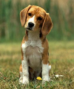 The 25 best hunting beagles for sale ideas on pinterest beagle beagles beagle puppies for sale voltagebd Choice Image