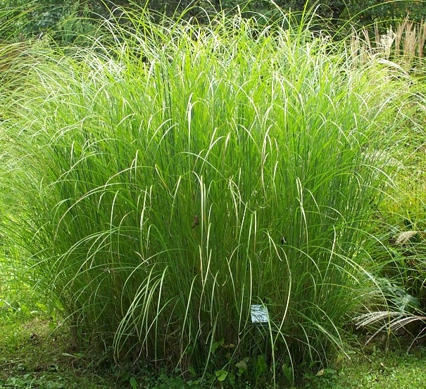 Miscanthus 39 sarabande 39 tied for 1 in ctrl fl 5 6 fine for Outdoor tall grass plants