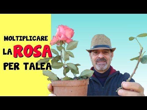 RIPRODURRE LA ROSA PER TALEA IL MIO SEGRETO PER FARLA RADICARE PRIMA - YouTube