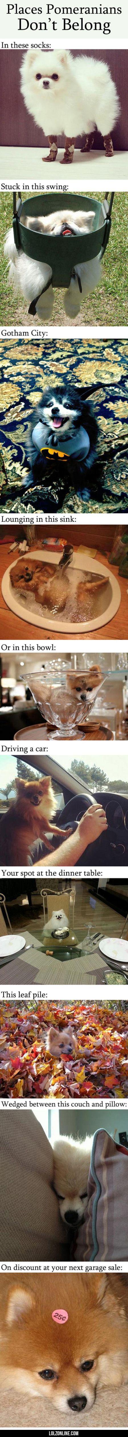 Places Where Pomeranians Don't Belong #lol #haha #funny
