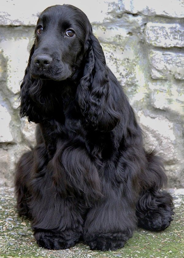 Pin By Ringdeer On Sobaki Spaniel Breeds Dachshund Dog Dogs And Puppies