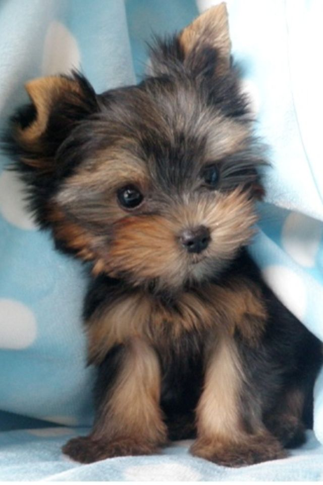 Yorkie puppy!! My Zoey used to be this small.  She's a little bigger now.  Wish I could afford another!