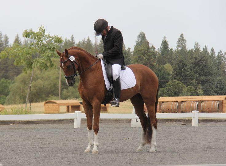 Dancier's Dream. 2015 USDF All-Breeds Champion at Training Level.    Find your dream horse at www.dreamcatchermeadows.com    #equestrian #horse #dressage