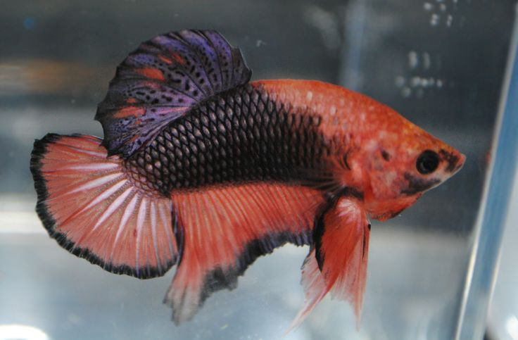 17 best images about siamese fighting fish on pinterest for Betta fish friends