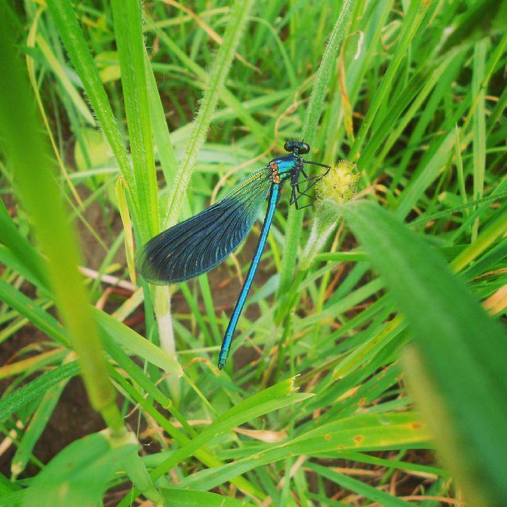 Sávos szitakötő - Calopteryx splendens vagy Agrion splendens (május - Zala megye)