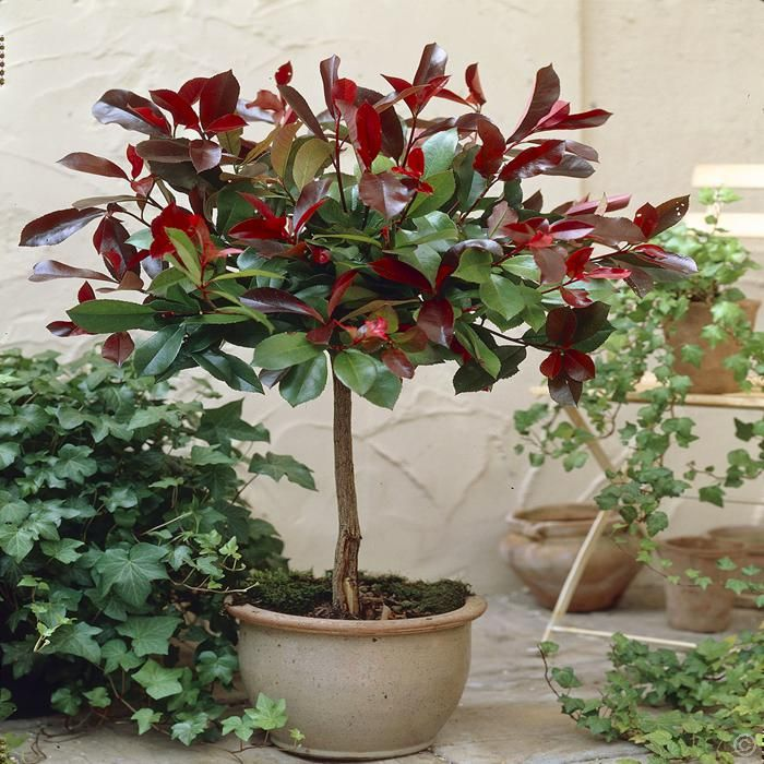 Standard Photinia Red Robin - 1 tree Buy online order yours now