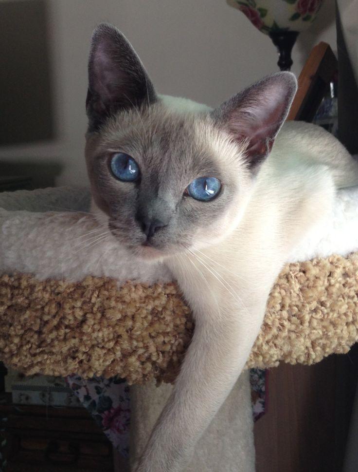Blue point tonkinese kitten