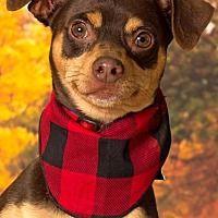 Gilbert, Arizona - Miniature Pinscher. Meet Chaparo, a for adoption. https://www.adoptapet.com/pet/20108446-gilbert-arizona-miniature-pinscher-mix