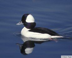 Bufflehead — Birds of North America Online. I've been seeing lots of these in the last week on the local ponds. I love their black and white style!